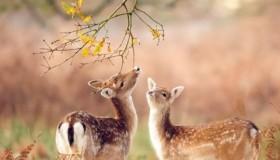 l-deer